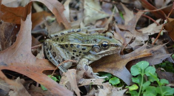 The new species of leopard frog, whose entire known range is roughly within commuting distance of Midtown Manhattan, makes an unusual sound.