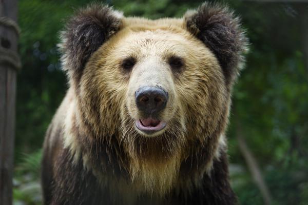Tibetan Bear 1